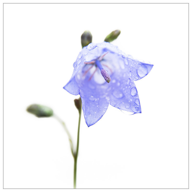 Harebell in the Rain! - Elements of The Landscape