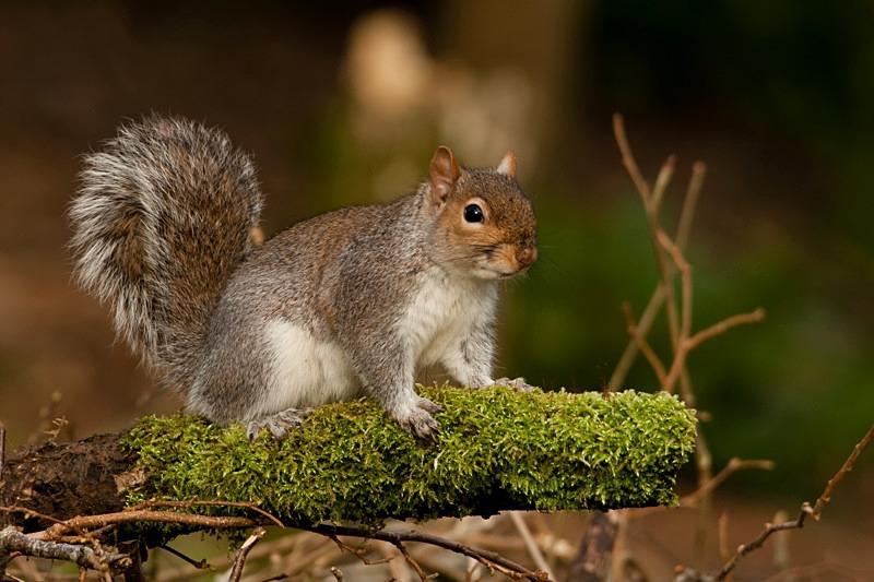 Squirrel - Wildlife