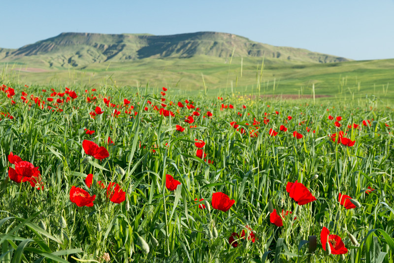 Poppy fields - Azerbaijan