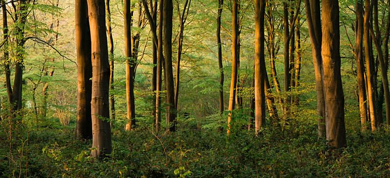 Beech Trees - England