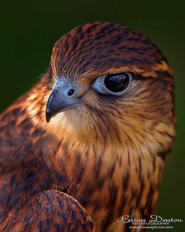 Kestrel - Nature & Wildlife