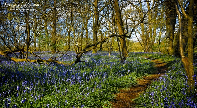 The Bluebell Path - New Images