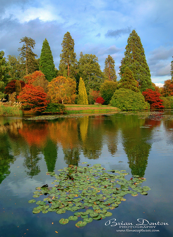 Autumn Lily Pads - England