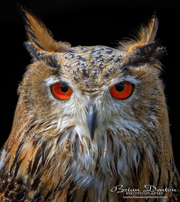 Eagle Owl Eyes - Nature & Wildlife
