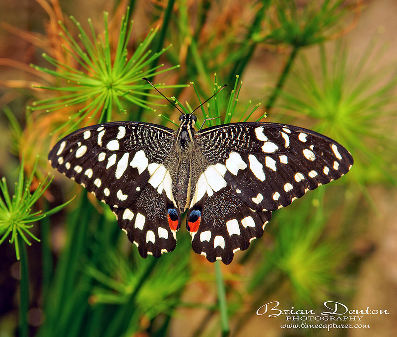 Papilio Domoleus - Nature & Wildlife