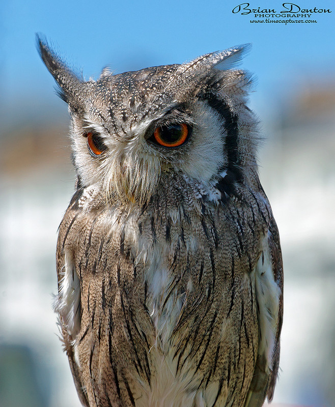 White Faced Scops Owl - Nature & Wildlife