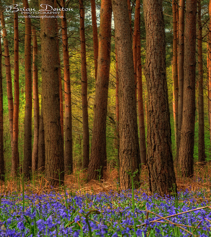 Pines And Bluebells - Nature & Wildlife