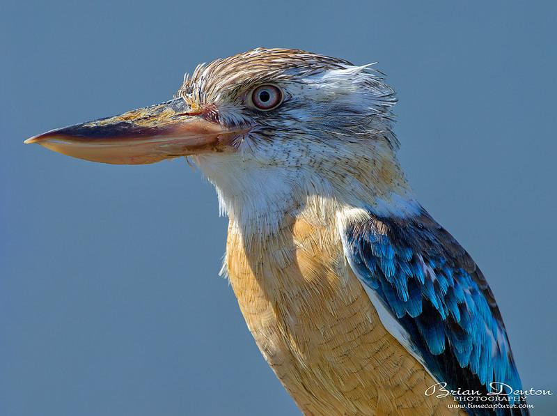 Kookaburra - Nature & Wildlife