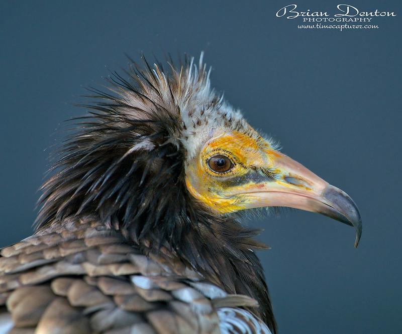 Hooded Vulture - Nature & Wildlife