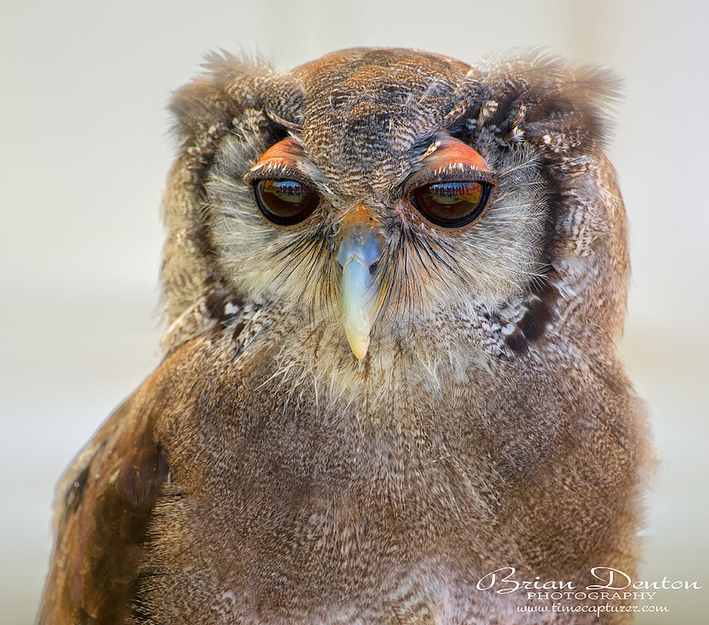 White Faced Owl - Nature & Wildlife