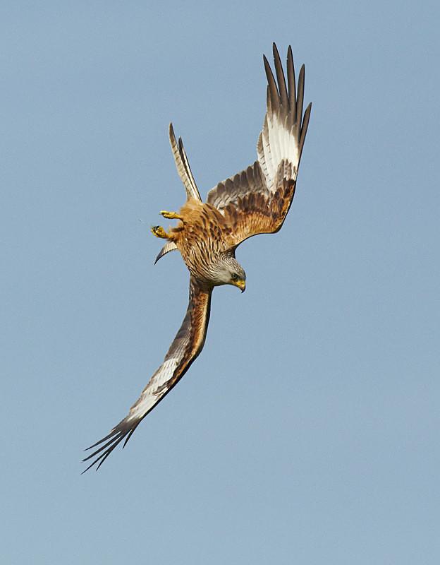 Red Kite, Gigrin, 2012 - Birds Of Prey