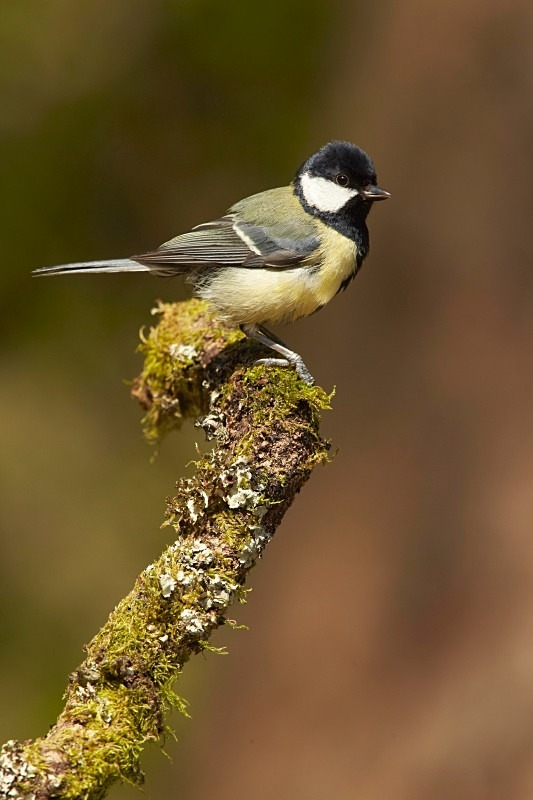 Great Tit - Garden Stuff