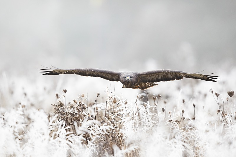 Buzzard in hoar frost - Wildlife Stock