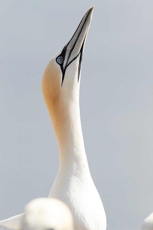 Gannet, Portrait, Bass Rock - Seabird Stuff