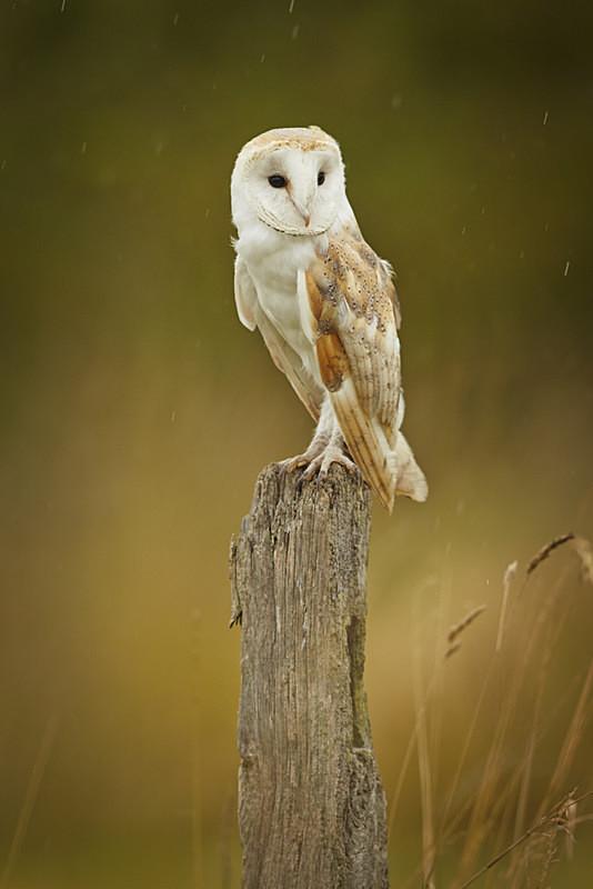 - Barn Owls