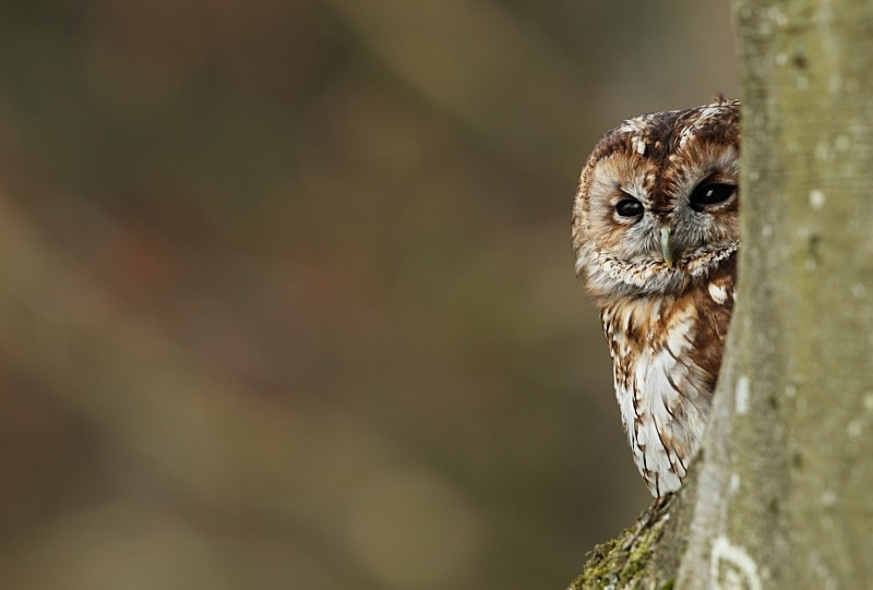 Tawny Owl - Birds Of Prey