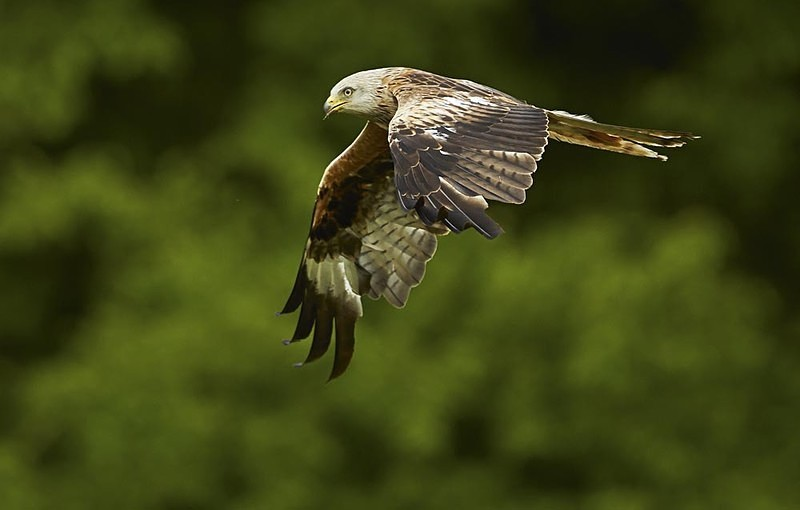 Red Kite - Latest Images