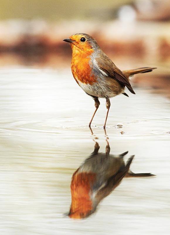 - Robins