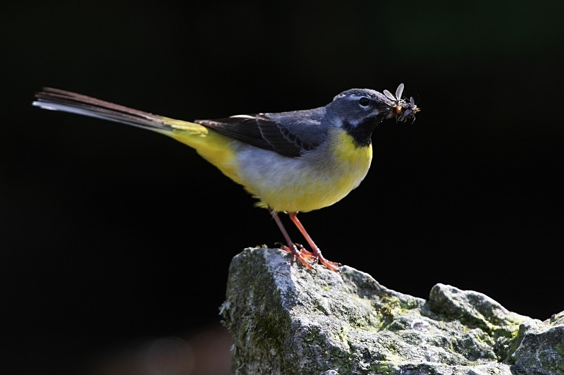 Grey Wagtail - Freshwater / Reedbed Stuff