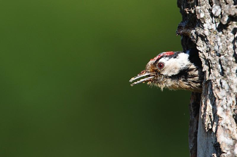 Lesser Spotted Woodpecker series - Woodland Stuff