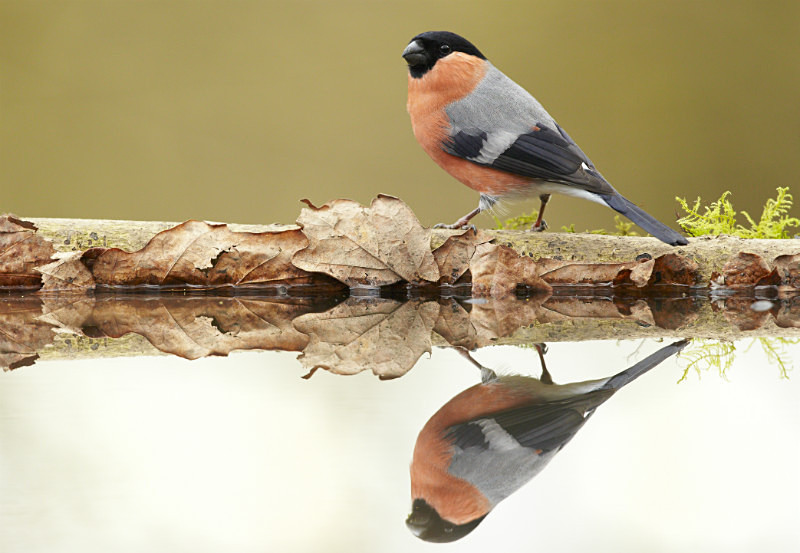 Bullfinch series - Garden Stuff