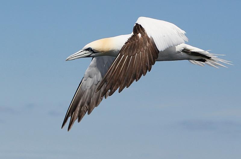 Gannet, Bass Rock - Seabird Stuff