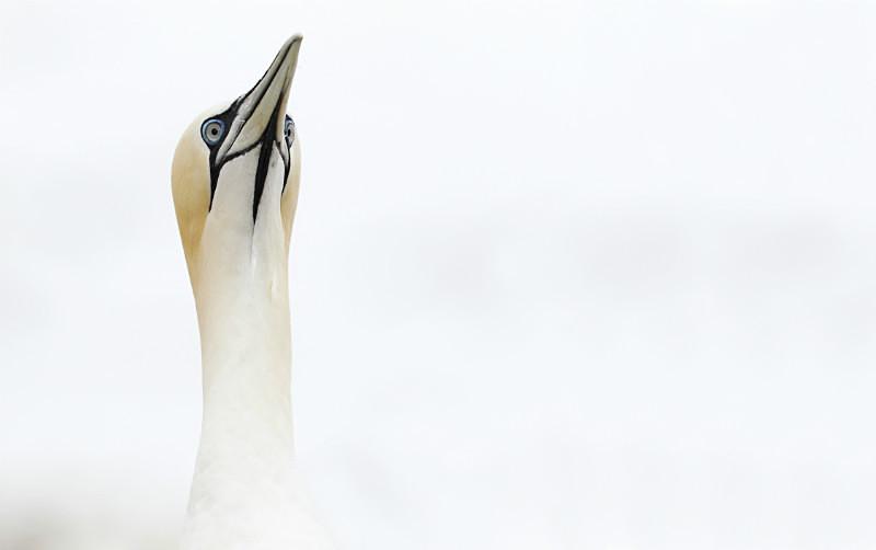 Gannet, high key - Wildlife Stock