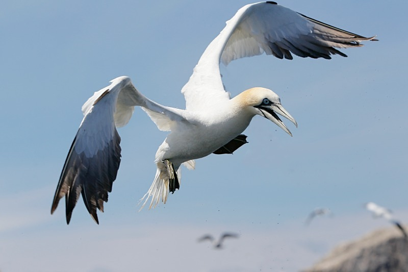 Gannet, Diving, Bass Rock - Seabird Stuff