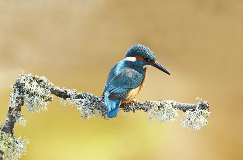 - Kingfishers