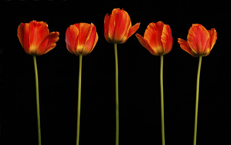 Tulip Series - Flora -Outdoor and Studio