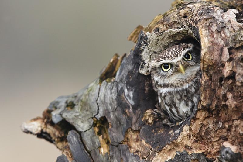 Little Owl - Wildlife Stock