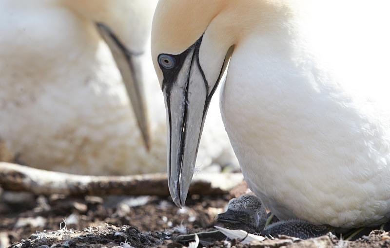 Gannet & chick - Seabird Stuff