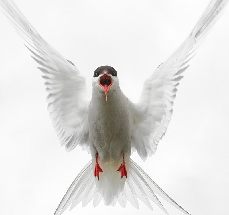 Angry Arctic Tern - Wildlife Stock