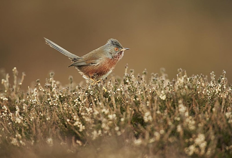 Dartford Warbler - Heath / Farmland Stuff
