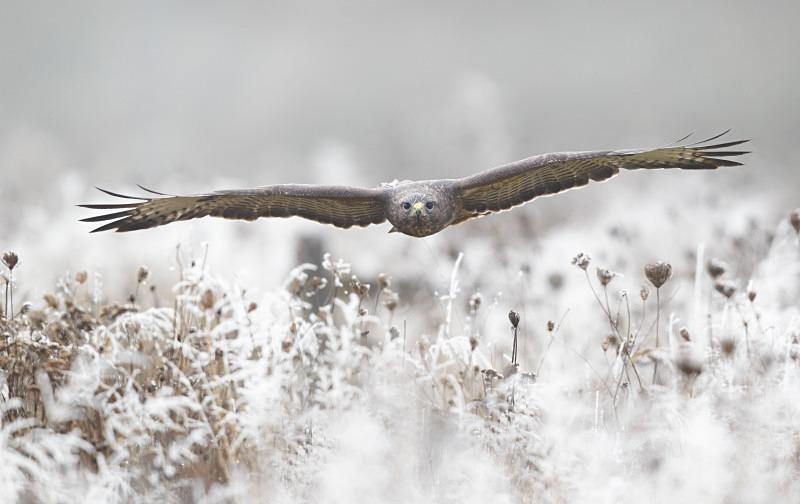 Buzzard in hoar frost - Birds Of Prey