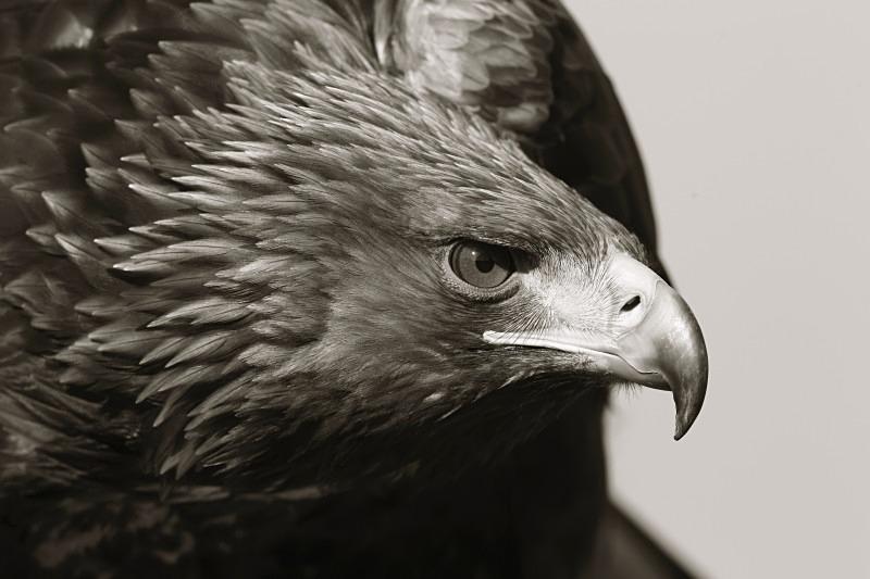 Golden Eagle - Wildlife Stock