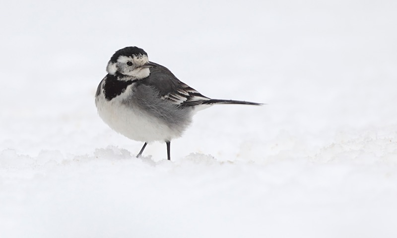 Pied Wagtail in snow - Garden Stuff