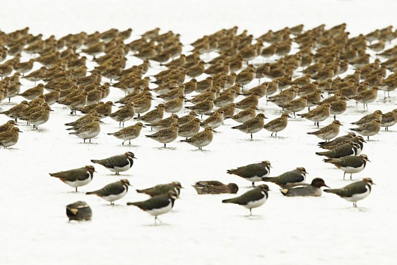 Golden Plover, Lapwing, high key, Norfolk - Coastal stuff
