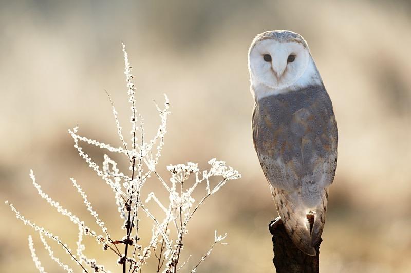 Barn Owl - Barn Owls