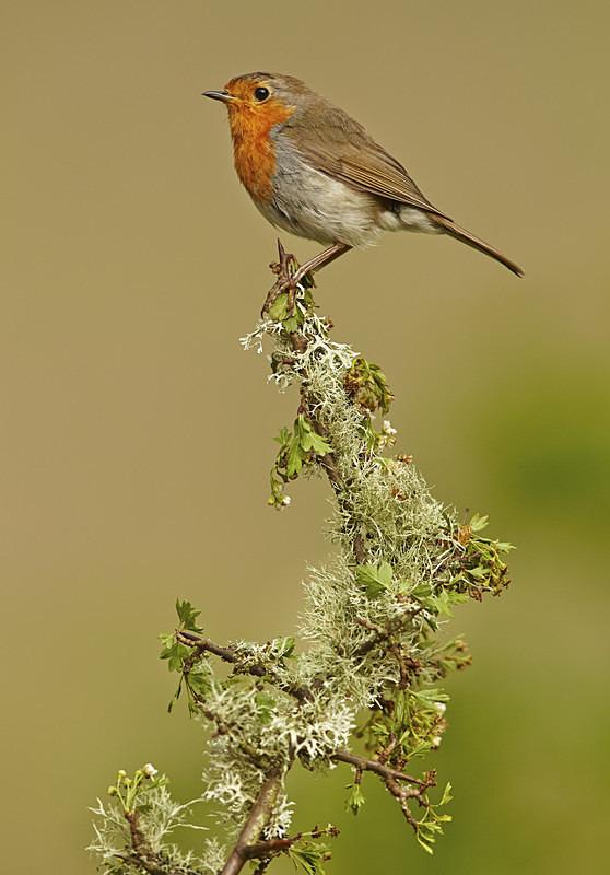 Robin - Robins