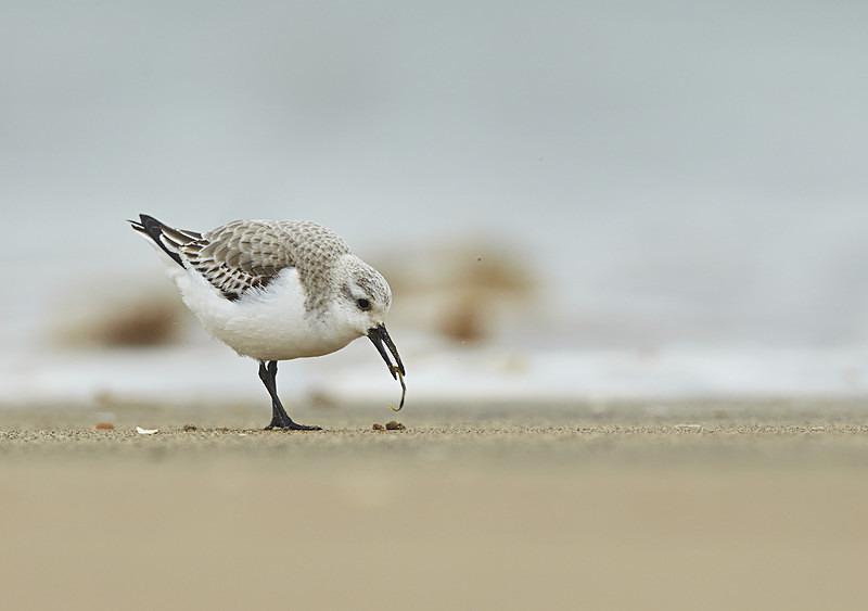 Sanderling, Norfolk - Coastal stuff