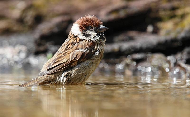 Tree Sparrow, bathtime - Woodland Stuff