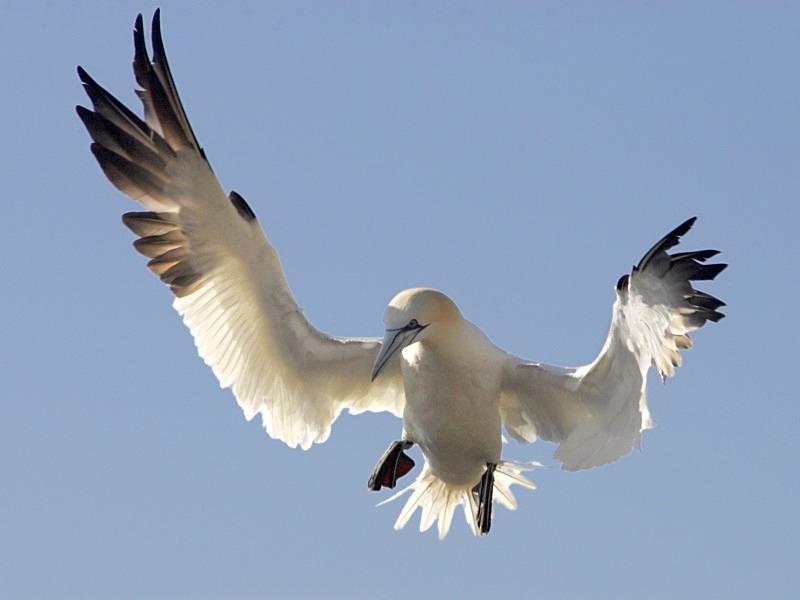 Gannet, landing, Bass Rock - Seabird Stuff