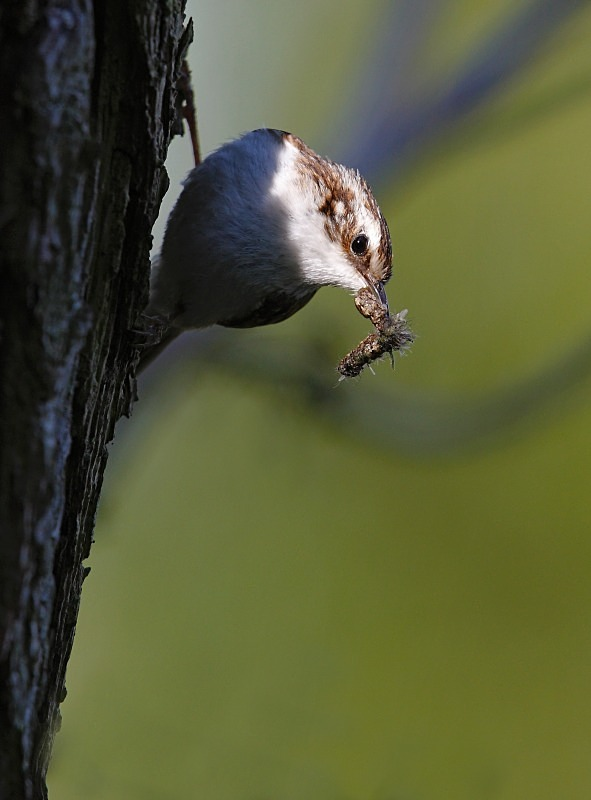 Treecreeper, series - Woodland Stuff