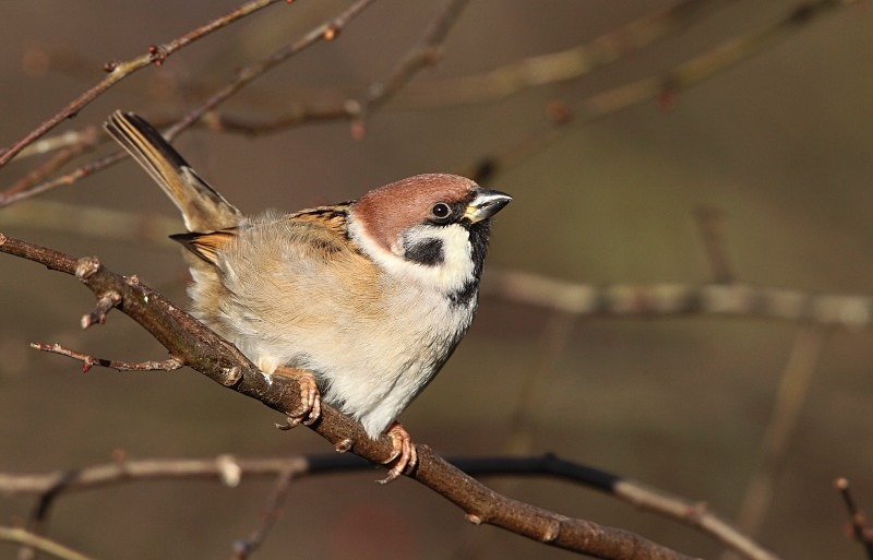 Tree Sparrow - Woodland Stuff