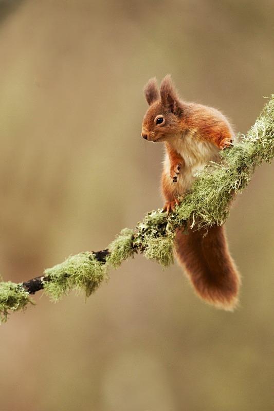 Red Squirrel - Red Squirrels