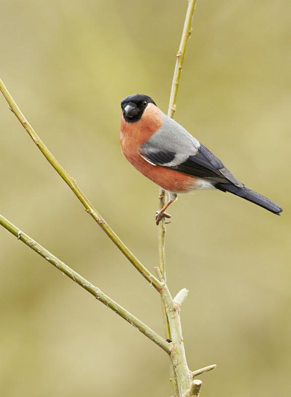 Bullfinch series - Garden Stuff