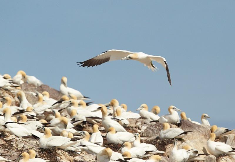 Gannets, Bass Rock, general view - Seabird Stuff