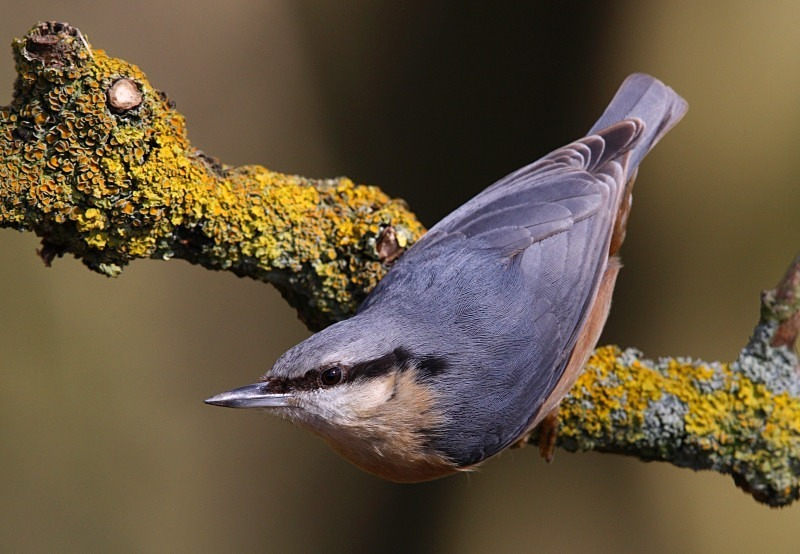 Nuthatch - Wildlife Stock