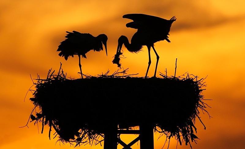 White Stork - Wildlife Stock